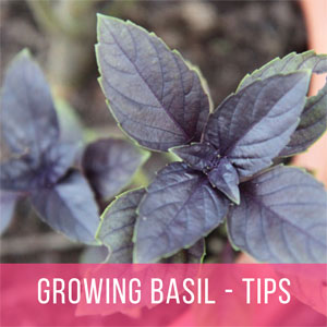 Growing Basil - Tips on Planting, Harvesting, Collecting Seeds, etc.