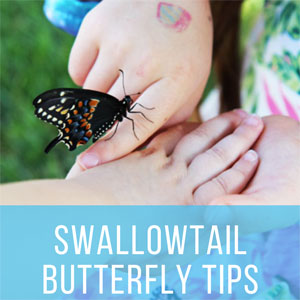 Raising and Hatching an Eastern Black Swallowtail Butterfly