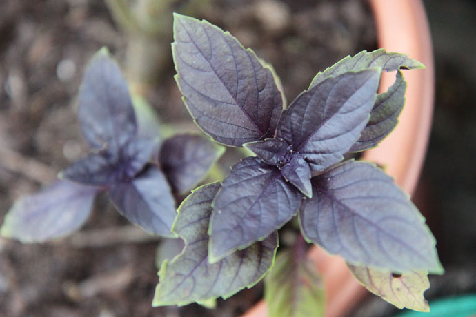 Growing Purple Basil Herbs in Home Garden
