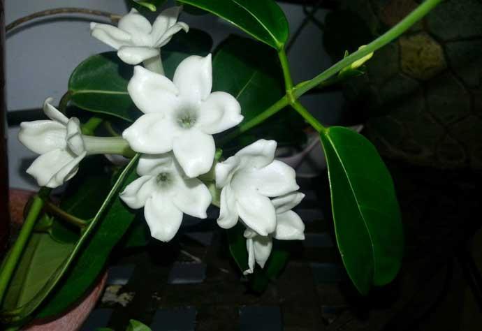 Madagascar Jasmine - Stephanotis Florabunda - Moon Garden Flowers