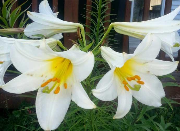 White Lilies for Moon Garden