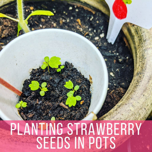 Planting Strawberry Seeds in Pots - Tiny baby strawberry plants in paper cup