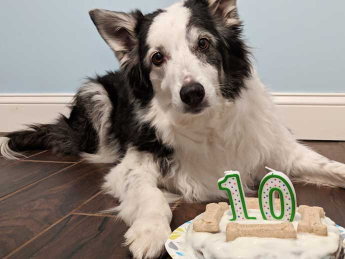 Black and White Border Collie with 10th Birthday Dog Cake with Milkbones and 10 Candle