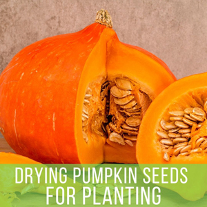 Drying Pumpkin Seeds for Planting - Pumpkin with exposed seeds