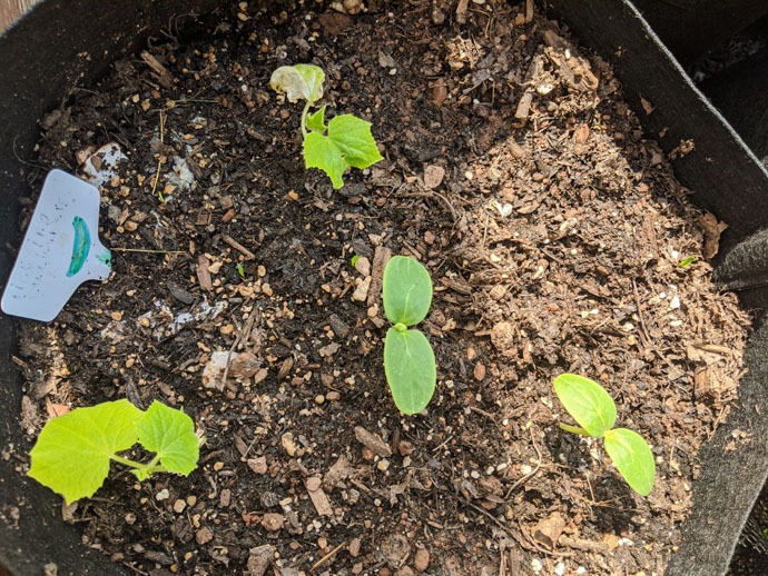 Baby Cucumber Plants as Companions for Tomato