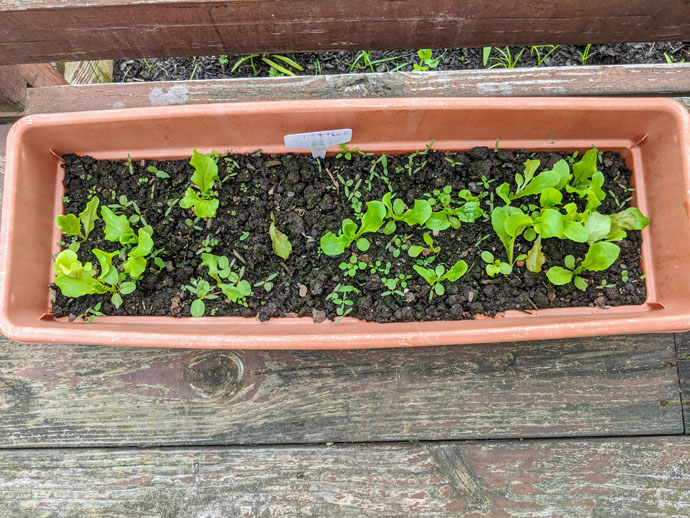 Growing Leaf Lettuce in Containers - Tiny Baby Lettuce Plants in a Rectangular Planter on a Deck