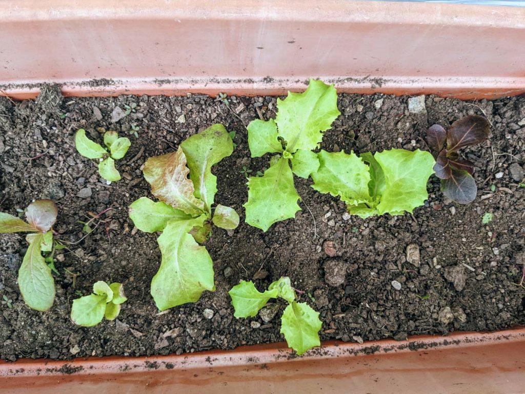 Rectangular Lettuce Planter on our deck with several kinds of leaf lettuce