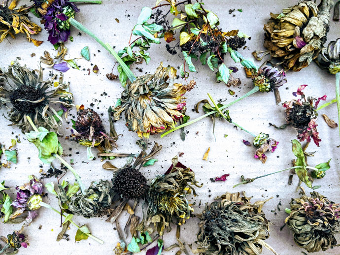 National Seed Swap Day 2021 - Dried Zinnias and flower heads for seed saving and trading