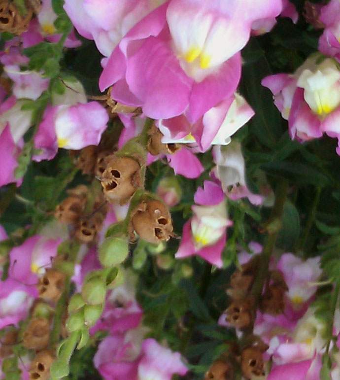 Antirrhinum Skull Seed Pods with Purple, White and Yellow Snapdragons - Note the Photo is Upside-Down to show the Skull Resemblance!