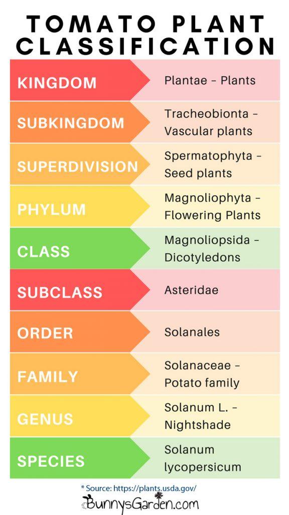 Scientific Name for Tomato - Tomato Plant Classification Chart