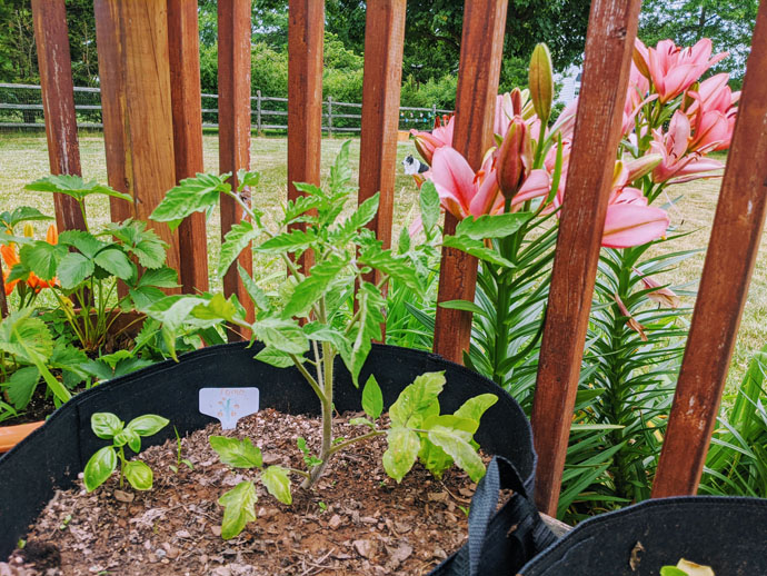 Tomato Companion Plants - Basil! Tomato and Basil Plants in Garden Grow Bag on Wooden Deck with Pink Lilies and Border Collie in the Background