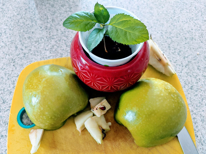 Apple Seed Growing inside Cut Granny Smith Apple with a Small Baby Apple Tree in a Red Pot