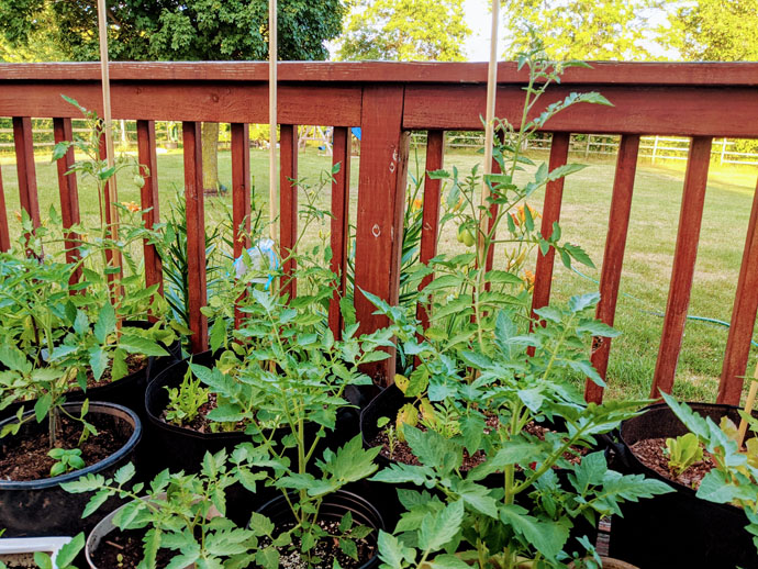 Companion Plants for Tomatoes - Roma Tomato Plants in Black Grow Bags on a Wooden Deck