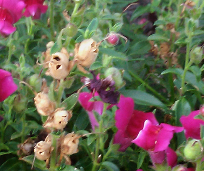 Dark Pink Snapdragon Flowers with Brown Seed Pods