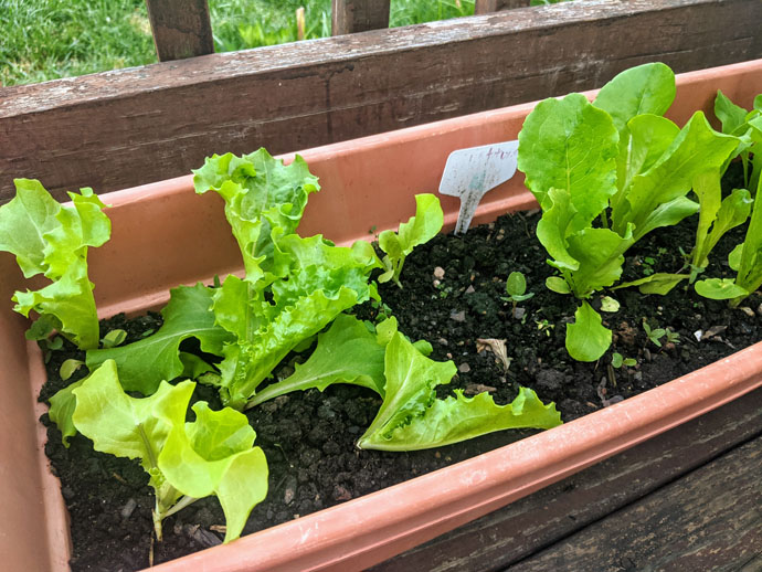Growing Loose Leaf Lettuce in Containers - Young Lettuce Plants in Rectangular Planter