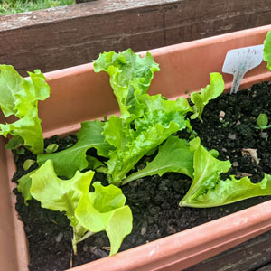 Growing Leaf Lettuce in Pots (9 Helpful Tips)