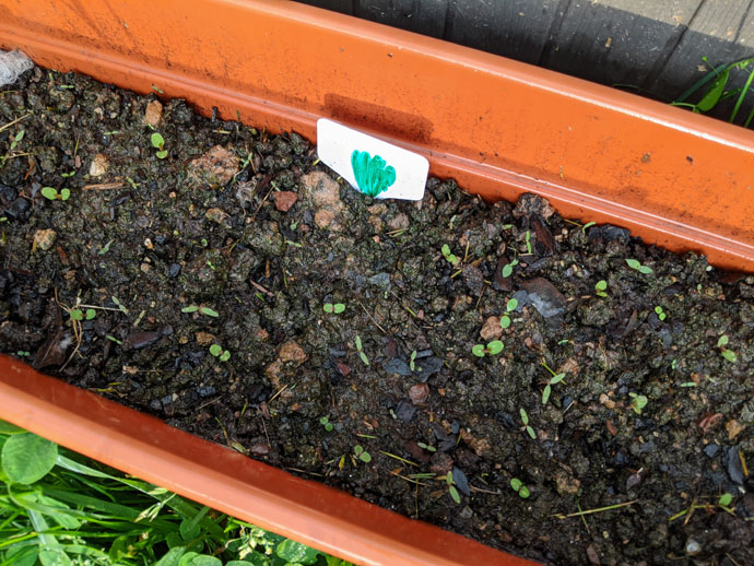 How to Germinate Lettuce Seeds - Tiny Lettuce Seedlings in a Rectangular Planter