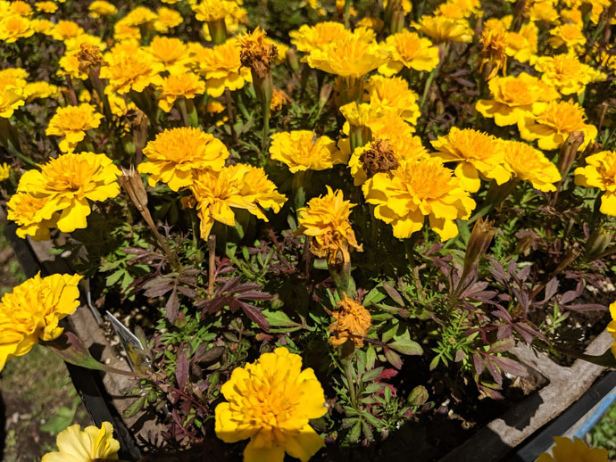 Yellow Marigolds Tomato Companion Plants