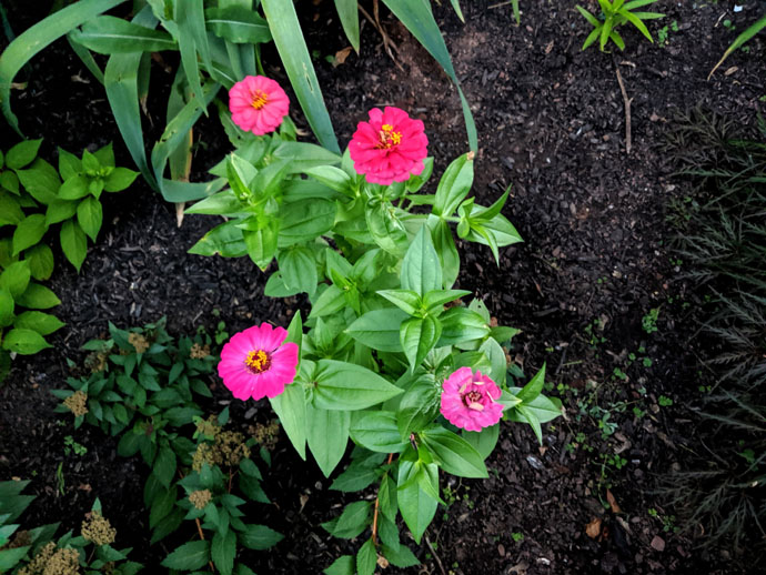 Zinnias Companion Planting Tomatoes - Pink Zinnias in a garden bed