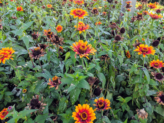 Red and Yellow Zowie Zinnias with Deadheads Spent Blooms