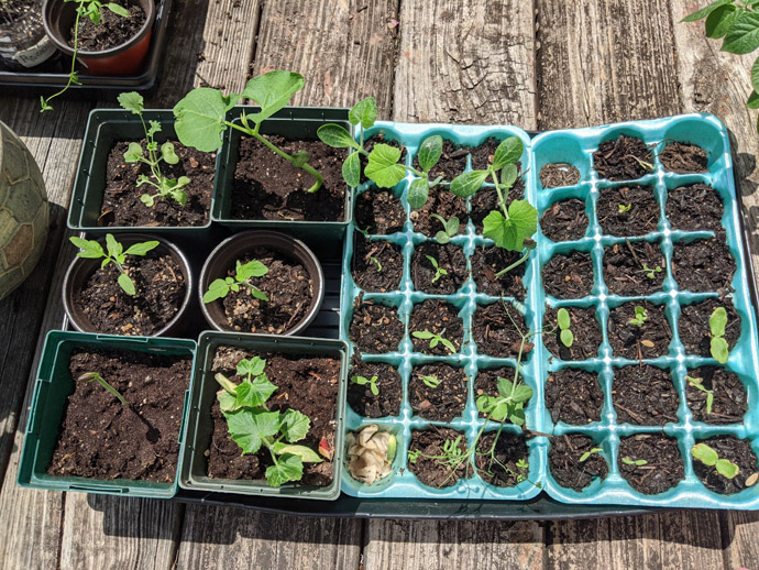 Hardening off seedlings in trays and egg cartons on the deck in the sun - tomatoes, pumpkins, cucumbers, and more