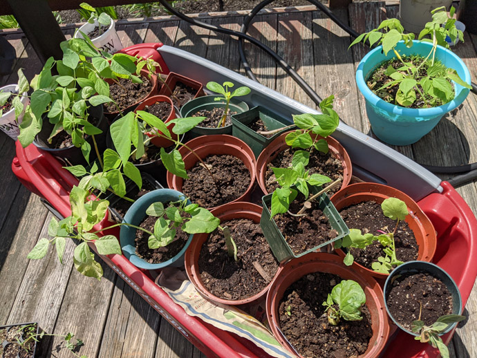 Hardening Off Seedlings in a Red Wagon in the Sun on the Deck