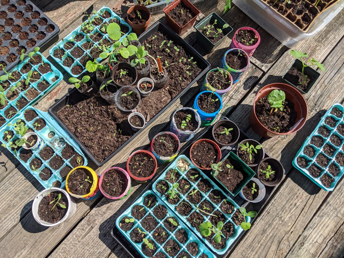 Hardening Off Seedlings on the deck in the sun to get them ready for transplanting