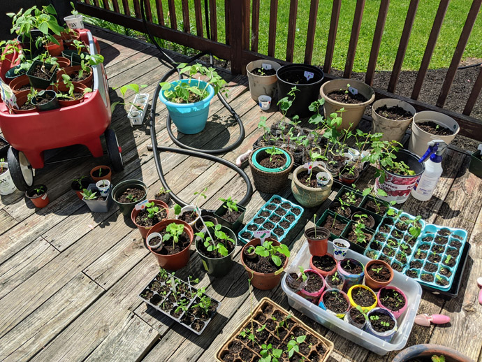Large spread of seedlings hardening off on the deck in the sun, lots of trays and pots and egg cartons of seedlings