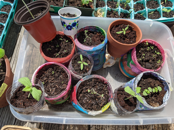 Hardening Of Seedlings in colorful pots in a Basin Container