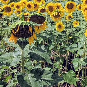 How to Deadhead Sunflowers (3 Simple Steps)