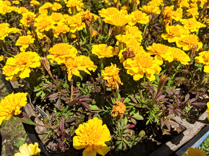 Yellow Marigolds with Spent Flowers for Deadheading