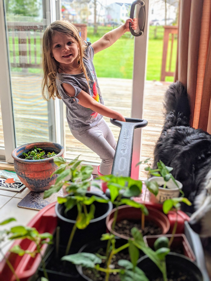 Hardening off Seedlings Tomatoes with a Wagon, Little Girl and Border Collie Pulling it