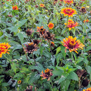 What Is Deadheading and What Flowers Do You Deadhead