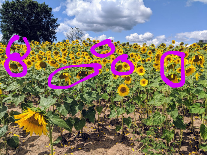 When to Deadhead Sunflowers - Photo showing a sunflower field with purple circles around spent sunflower heads for deadheading
