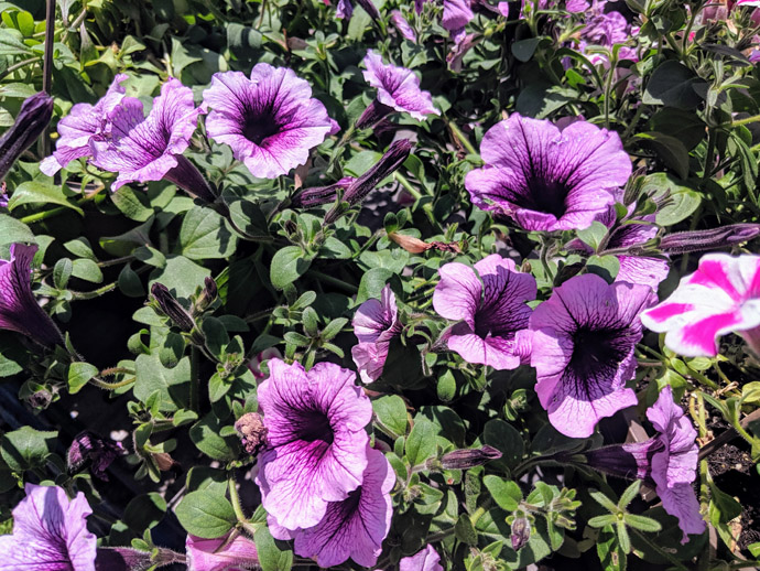 Purple Petunias with Deadhead Flower Heads