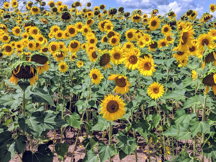 Deadhead Sunflowers - Beautiful Sunflower Field of Blooms