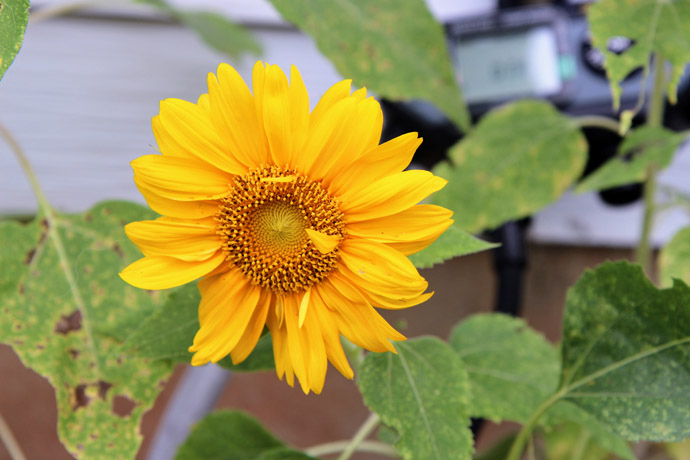 Deadheading Dwarf Sunflower - Dwarf Sunspot flower near a hose timer
