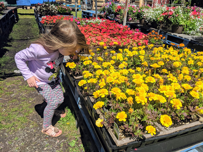Large Tray of Yellow Marigolds for Sale, Little Girl Sniffing Flowers