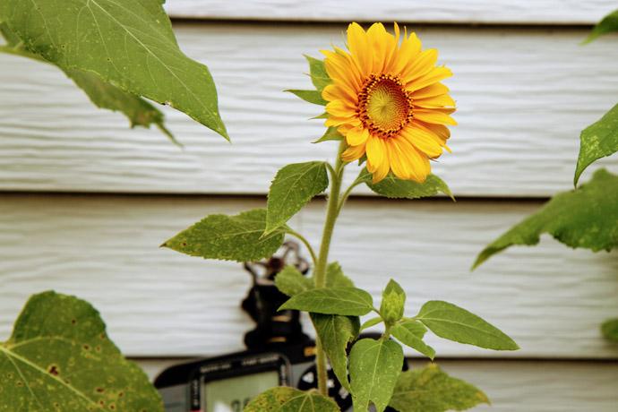 Dwarf Sunflower blooming near a hose
