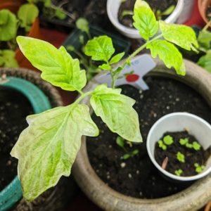 Hardening off Tomatoes (12 Easy Tips for Seedlings)
