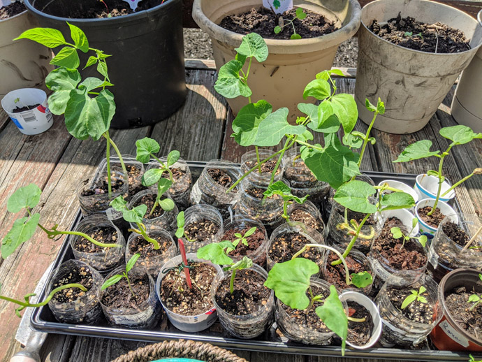When you Harden Plants Long after starting seeds, the plants become leggy. Tray of seedlings