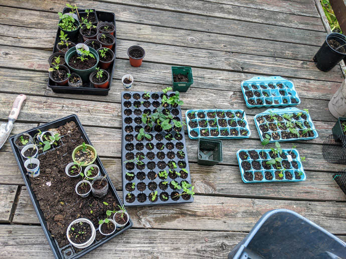Hardening off Plants Outside on the deck