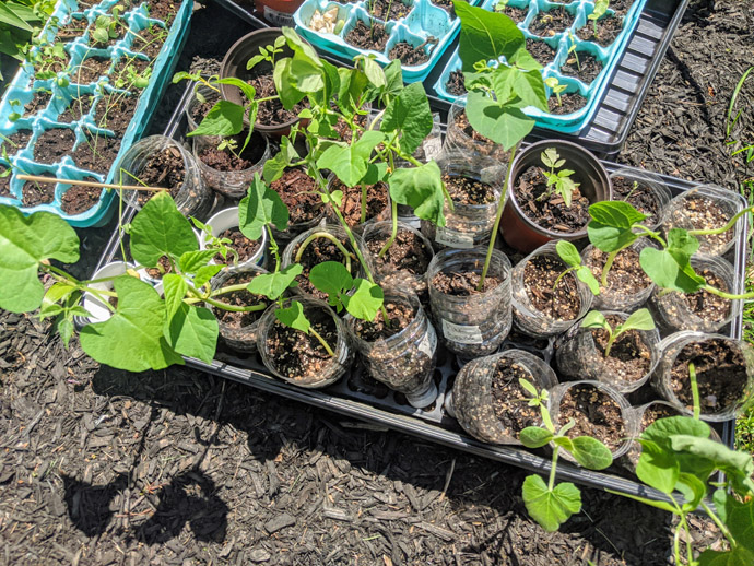 Hardening Off Plants for Planting Outside - Trays and Egg Cartons of Seedlings