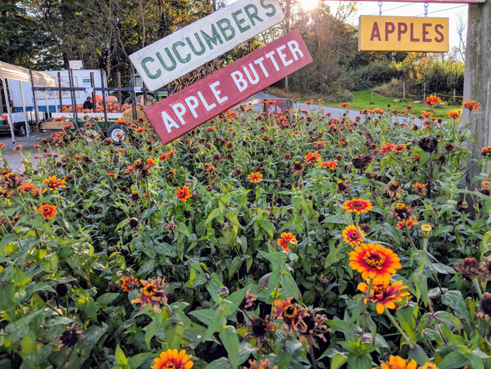 Red and Yellow Zowie Zinnias with Deadheads Spent Blooms with Cucumber and Apple Butter Signs