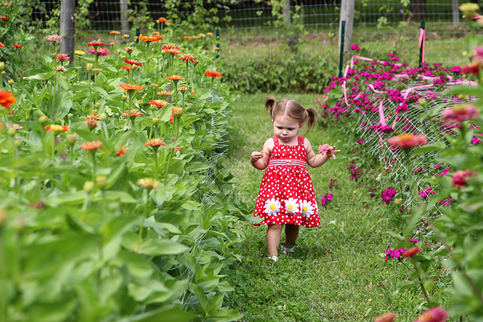 Little Toddler in Field of Pick Your Own Zinnias