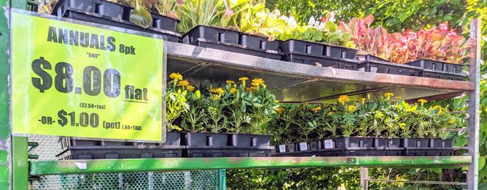 Annual Flowers Marigolds for Sale - Yellow Marigold Packs / Flats on Trays