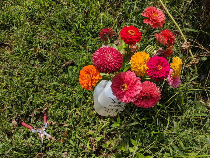 Pick Your Own Fresh Cut Zinnia Flowers Bouquet with Nippers in Grass