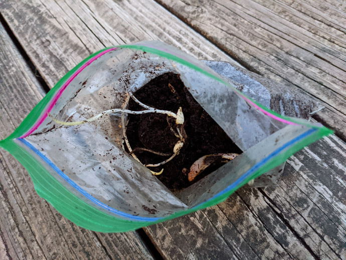 Propagating Lilies with Scales for Free Plants - Plastic Zip-top Baggie with Peat Moss and Sprouted Baby Lily Bulb on Wooden Deck