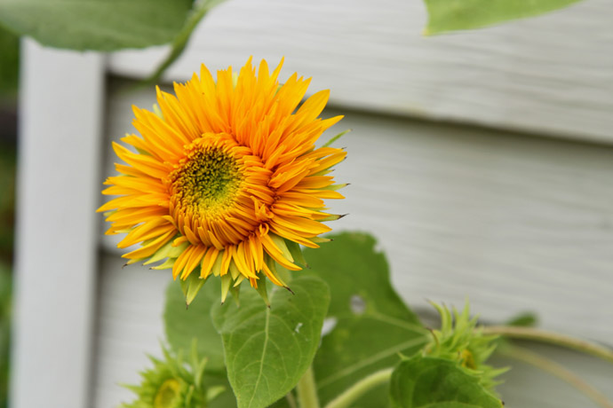 Bright Yellow Teddy Bear Sunflowers for Deadheading to Extend Bloom Season
