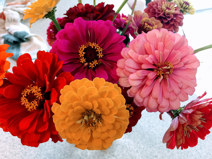 Zinnia Bouquet in a Vase - Red, Pink, and Orange Flowers
